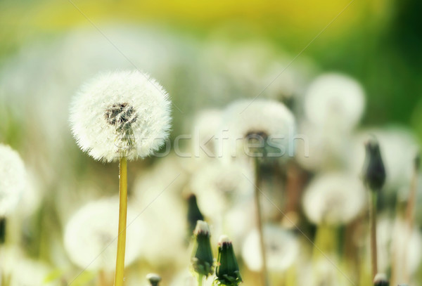 Field of blow-balls in the summer Stock photo © konradbak