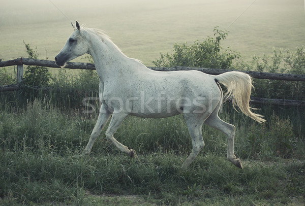 Picture of white steed with rular landscape in background Stock photo © konradbak