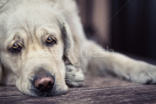 Triest ogen groot witte hond licht Stockfoto © konradbak