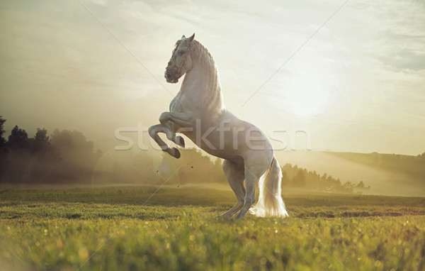 Majestic photo of royal white horse Stock photo © konradbak