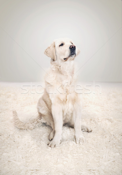 Foto cute golden retriever poseren natuur tapijt Stockfoto © konradbak