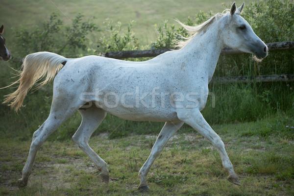 Fine shoot of spotted white steed Stock photo © konradbak