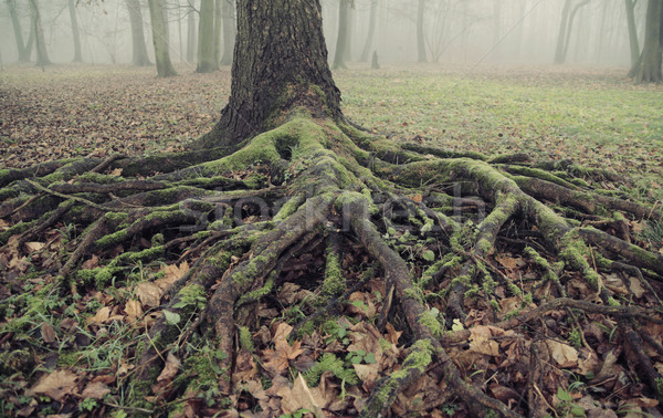 Stock photo: Picture presenting the old and long roots