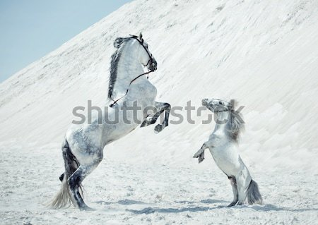 Pretty lady with huge horse on the desert Stock photo © konradbak