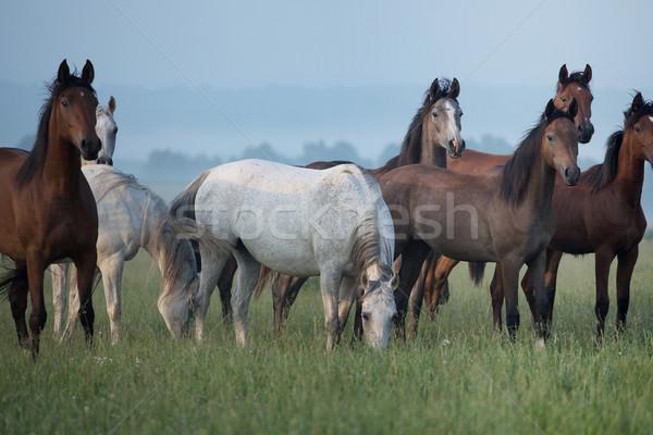 Bevy of horses on the meadow Stock photo © konradbak