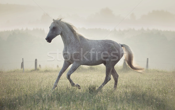 Stock photo: Spotted white horse running through the meadow