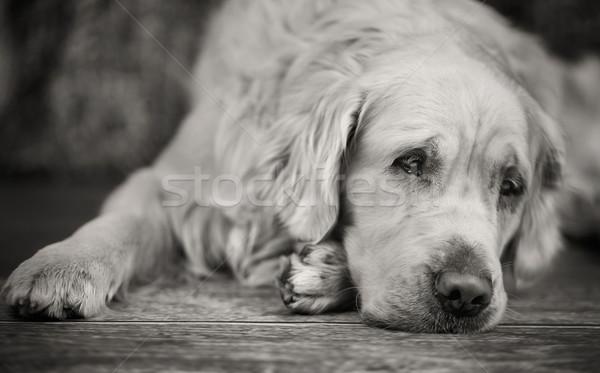 Laying white retriever with sad eyes Stock photo © konradbak