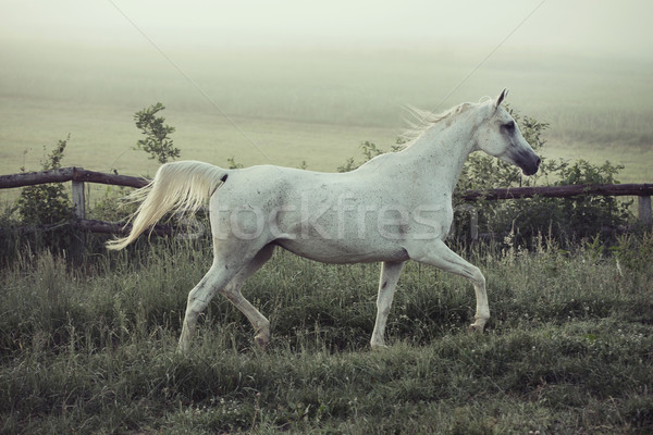 Spotted white steed in running pose Stock photo © konradbak