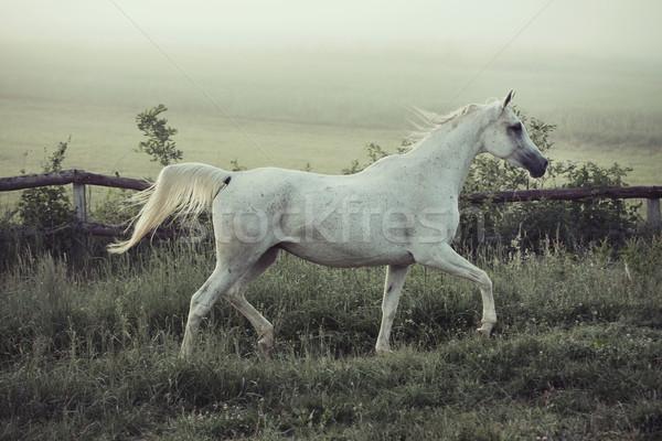 Beyaz steed çalışma poz beyaz at gökyüzü Stok fotoğraf © konradbak