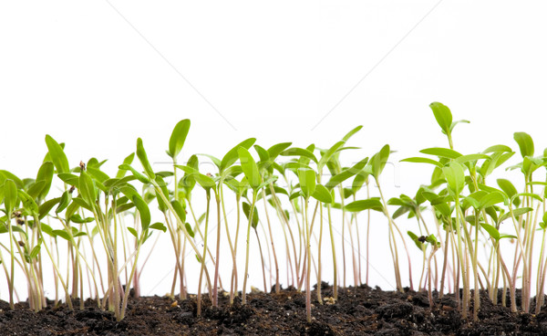 concept of development, the young spring shoots on white backgro Stock photo © Konstanttin