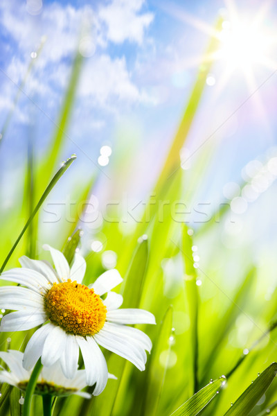 natural summer background with daisies flowers in grass Stock photo © Konstanttin