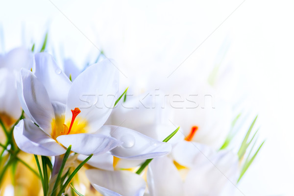 Art Beautiful Spring White crocus Flowers on white background Stock photo © Konstanttin