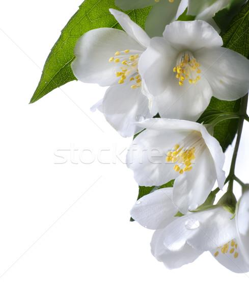 art jasmine white flower isolated on white background Stock photo © Konstanttin