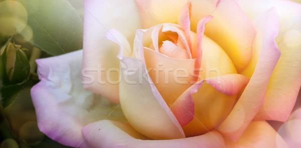 Művészet tavasz nyár gyönyörű rózsa kert Stock fotó © Konstanttin