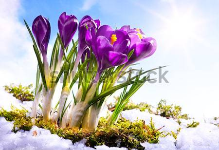 Art crocus flowers in the snow Thaw Stock photo © Konstanttin