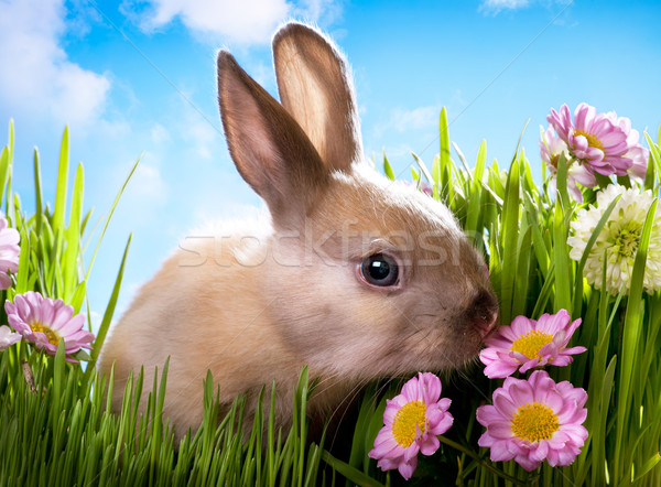 Foto d'archivio: Pasqua · baby · coniglio · erba · verde · fiori · di · primavera · fiore