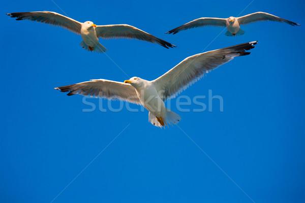 birds flying in the sky Stock photo © Konstanttin