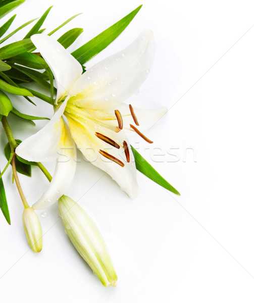madonna lily isolated on a white background Stock photo © Konstanttin
