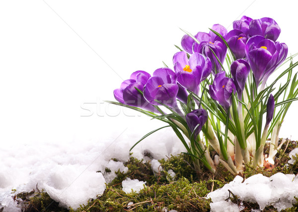 Stock photo: art Beautiful easter Spring Flowers isolated on white background