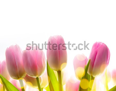Stock photo: art tulip spring  flowers  in the sunlight