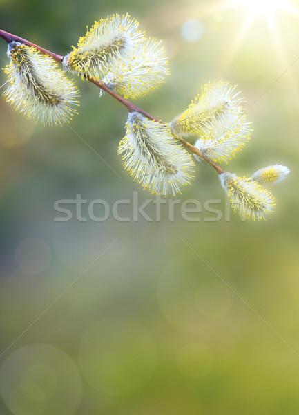 Művészet tavaszi virágok tavasz fehér virág nap Stock fotó © Konstanttin
