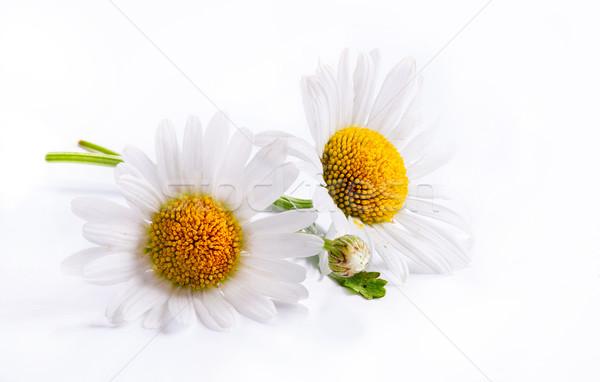 Kunst madeliefjes voorjaar witte bloem geïsoleerd witte Stockfoto © Konstanttin