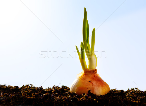 spring onion vegetables growing garden Stock photo © Konstanttin
