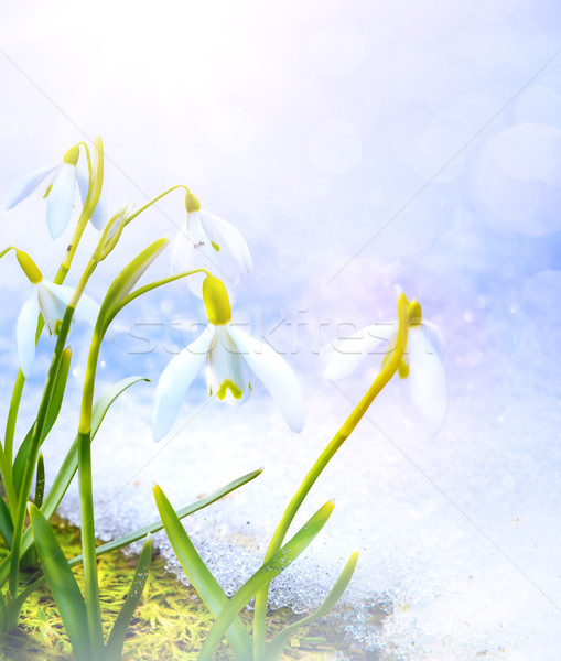 Art Spring snowdrop flowers with snow in the forest  Stock photo © Konstanttin