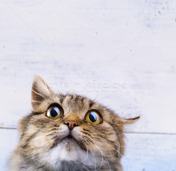 frightened and surprised Gray cat looking up with wide-open eyes Stock photo © Konstanttin
