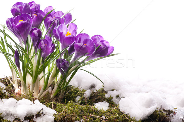 art Beautiful Spring Flowers  Stock photo © Konstanttin
