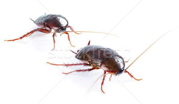 Sanat çift hamamböceği böcek yalıtılmış beyaz Stok fotoğraf © Konstanttin