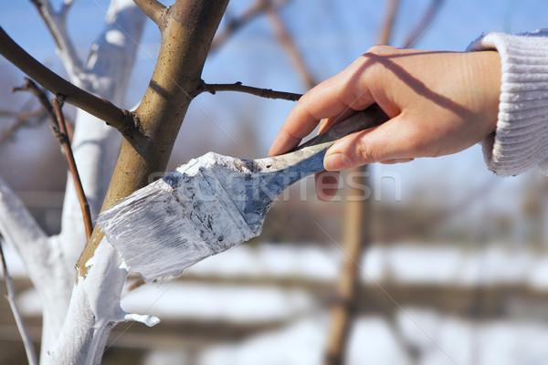art whitewash apple tree trunk in the garden Stock photo © Konstanttin