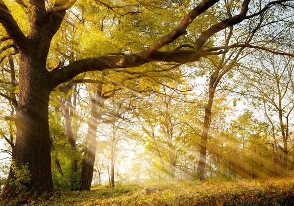 古い 樫の木 秋 公園 巨大な 太陽 ストックフォト © Konstanttin