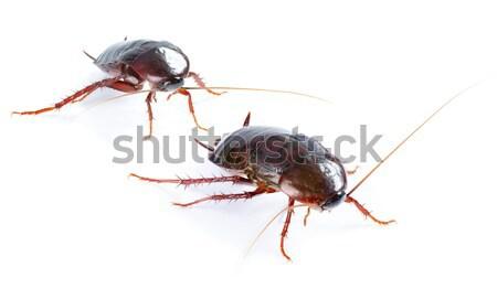 Hamamböceği böcek yalıtılmış beyaz hayvan kir Stok fotoğraf © Konstanttin