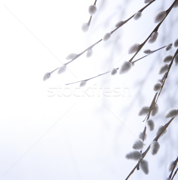art spring flowering branches of willow Stock photo © Konstanttin
