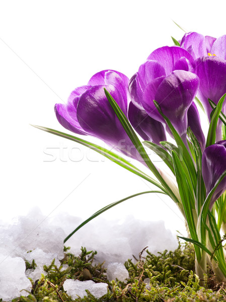 Beautiful spring flower in snow  Stock photo © Konstanttin
