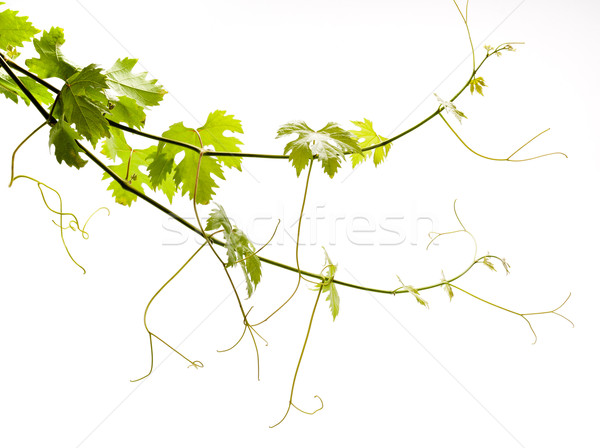 vine on a white background Stock photo © Konstanttin