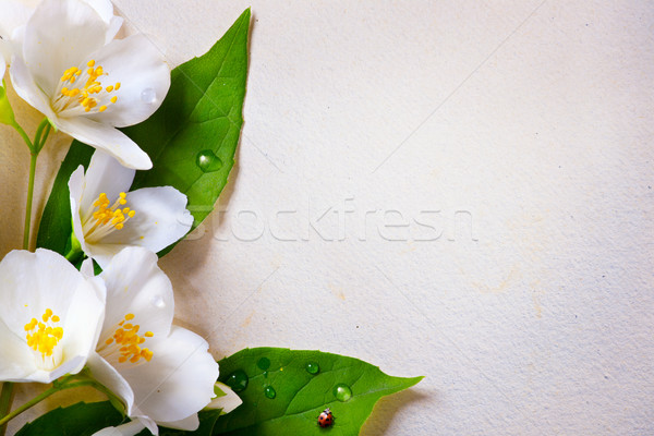 art jasmine spring flowers on old paper background Stock photo © Konstanttin