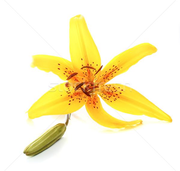 yellow lily Stock photo © konturvid