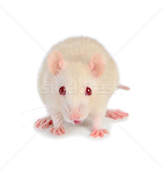 Bianco mouse isolato divertente testa naso Foto d'archivio © konturvid