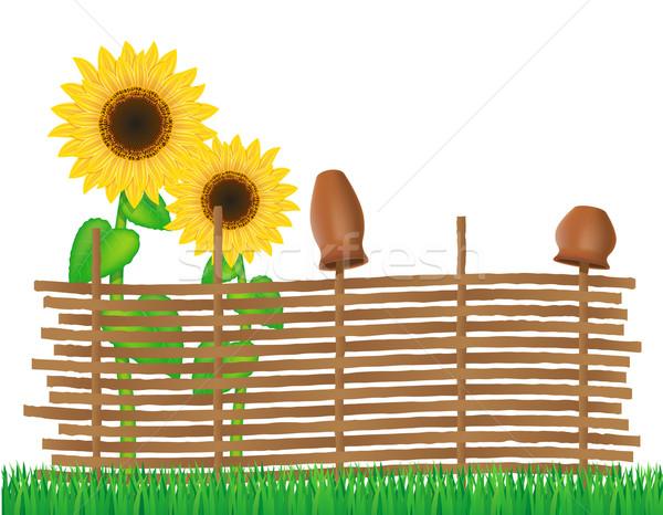 плетеный забор подсолнухи изолированный белый лист Сток-фото © konturvid