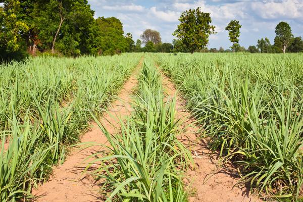 sugar cane field Stock photo © koratmember