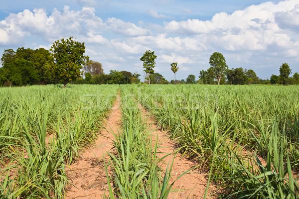 Suikerriet veld groei oude gras landschap Stockfoto © koratmember