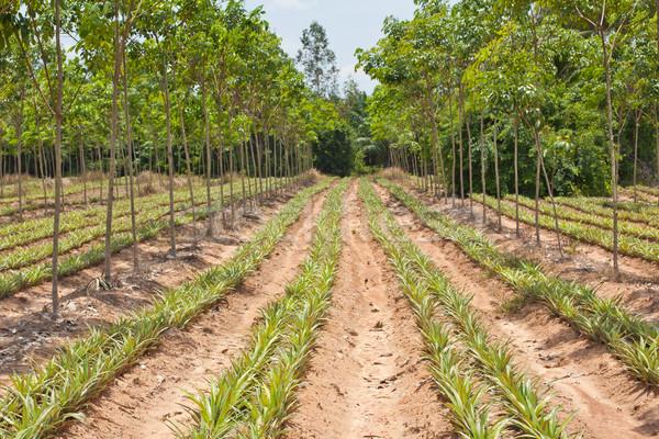 pineapple under rubber tree Stock photo © koratmember