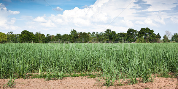 Suikerriet veld groei gras landschap zomer Stockfoto © koratmember