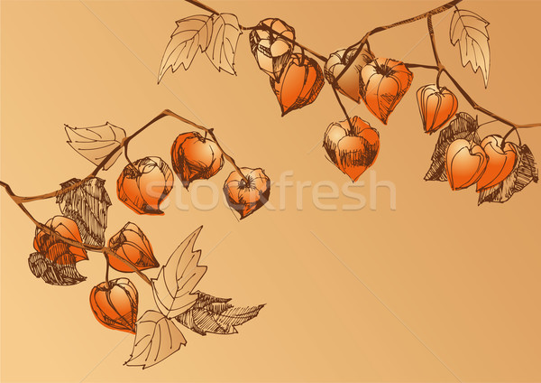 Orange physalis Stock photo © kostins