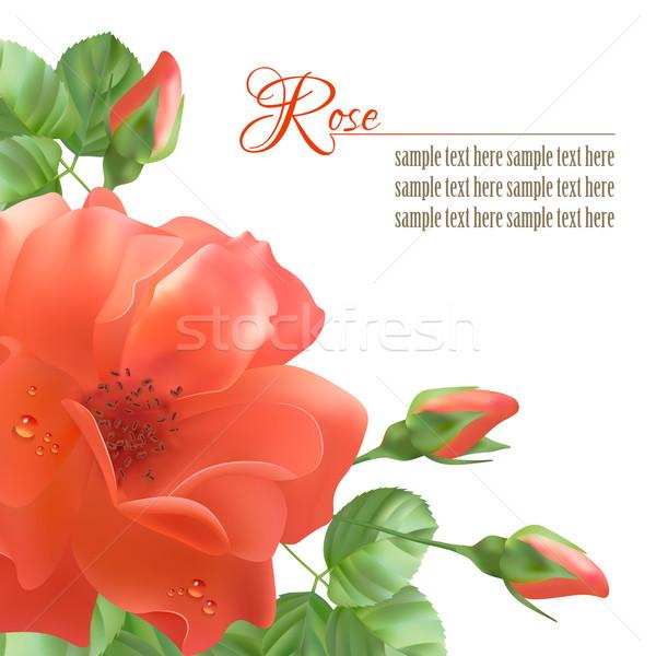 Flower Rose Vector Background Stock photo © kostins