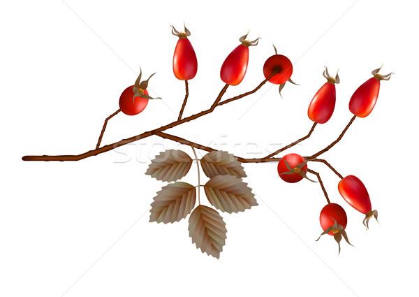Vector Rosehip Berries Stock photo © kostins