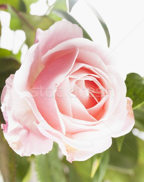 çiçek bahar doğa arka plan Stok fotoğraf © Koufax73