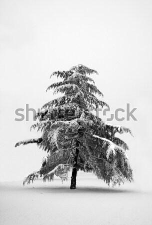 Lonely pine tree Stock photo © Koufax73
